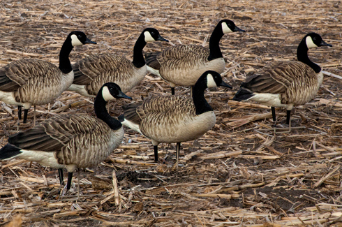 Avian X Canada Goose Painted Decoys Walkers (6 Pack)