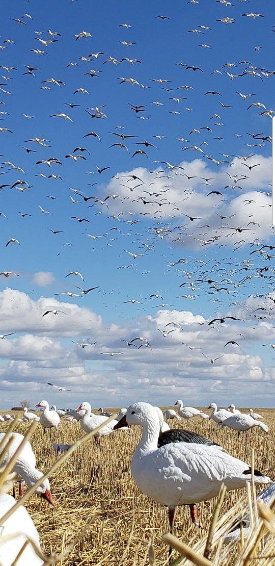 SX Full Body Snow Goose (12 Boxes)